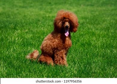 Miniature Poodle Images, Stock Photos & Vectors | Shutterstock