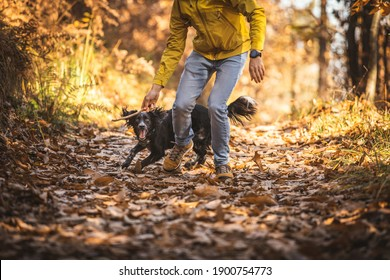 Dog breed spaniel plays with a stick in the autumn park