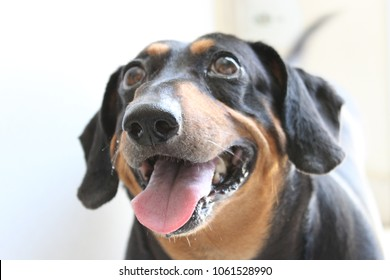 Dog of the breed Teckel or sausage with tongue out looking up