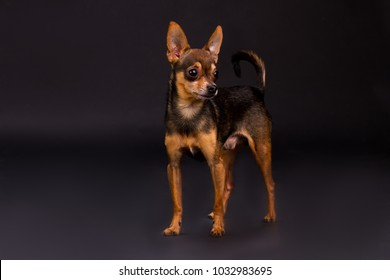 Dog of breed toy-terrier, tudio shot. Adorable little russian toy-terrier standing on dark stusio background. Lovely pedigreed companion.