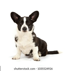 Dog of breed of Welsh Corgi with black-and-white spots on a white background.