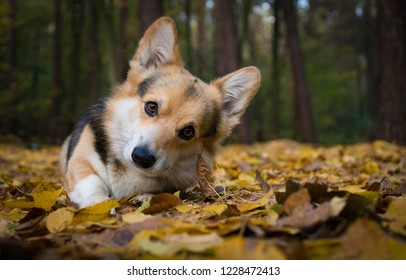 Dog breed Welsh Corgi Pembroke on a walk in a beautiful autumn forest.