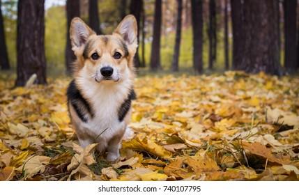 Dog breed Welsh Corgi Pembroke on a walk in a beautiful autumn forest.