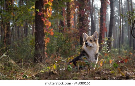 Dog breed Welsh Corgi Pembroke on a walk in a beautiful autumn forest. Early autumn.