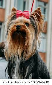 Dog breed Yorkshire terrier with a bow at outdoor