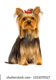 dog breed Yorkshire terrier on a white background