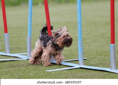 Dog of breed the Yorkshire terrier on the competitions of Agility