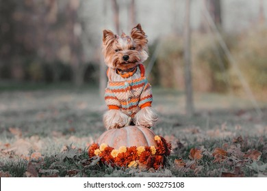dog breed Yorkshire Terrier with pumpkin