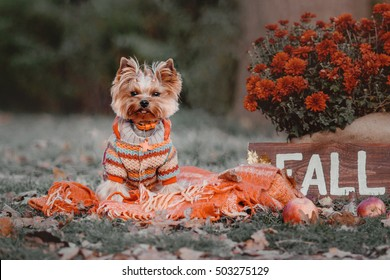 "Dog breed Yorkshire terrier sitting on a a plaid in the autumn decor of pumpkins, leaves, chrysanthemums and a wooden sign with the words ""Fall"""
