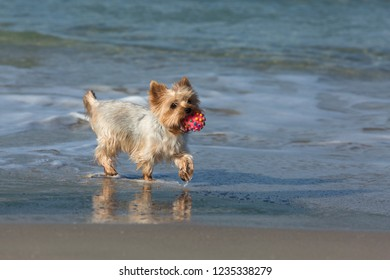 Dog breed Yorsh Terrier with a toy in his mouth fun frolics along the shore of the blue sea