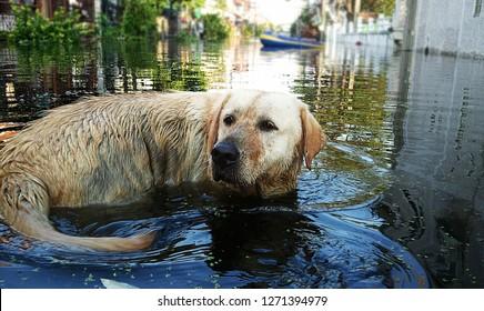Dog breeder Labrador Retriever waded flood