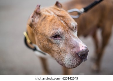 dog breeds the American pit bull Terrier red male