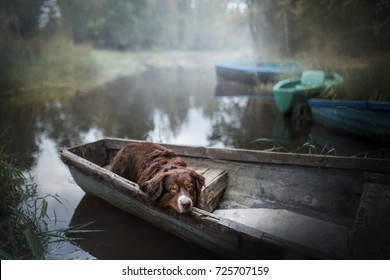 dog, breeds Australian Shepherd put his head, the dog lies in a boat, morning fishing