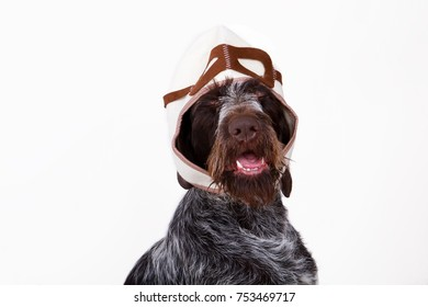 dog breeds drathar in cap pilot helmet, is isolated on white background. The concept of traveling through the air with a pet
