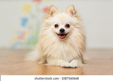 Dog breeds German Spitz beige color lies on the floor