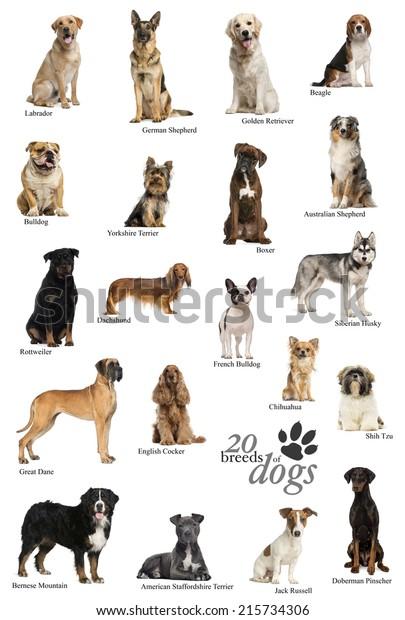 Dog Breeds Poster English Stock Photo (Edit Now) 215734306