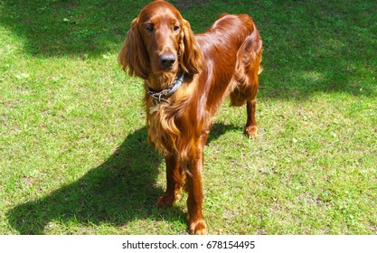 Dog breeds satter, brown color on the lawn.