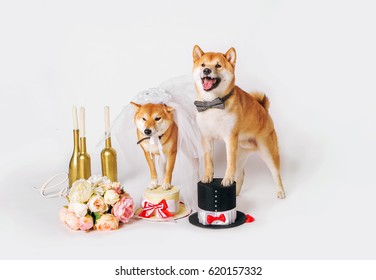Dog bride and groom. Shib-inu dressed up in bride and groom costumes