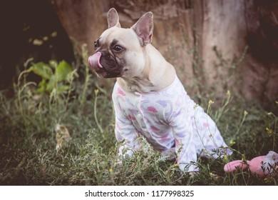 dog bulldog in nature