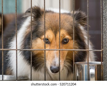 dog in cage series, Shetland sheepdog, her name is Sissi.