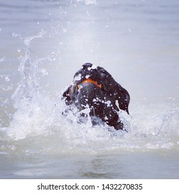 Dog can not swim and splashes in the water. dog with ball in the water, water splashes