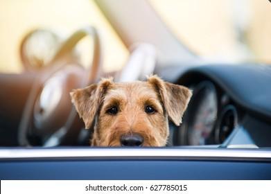 Dog at car