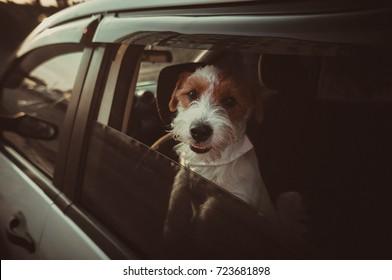 Dog in the car looking at camera