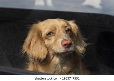 Dog in the car. The dog looks through the glass. The animal is on the trip. The pet is sitting in the car.