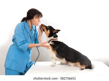Dog Cardigan Welsh Corgi in the examination in veterinary clinic
