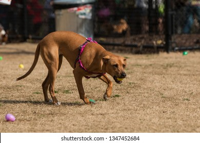 A dog carries a plastic easter egg filled with a dog treat a dog egg hunt in a public park.