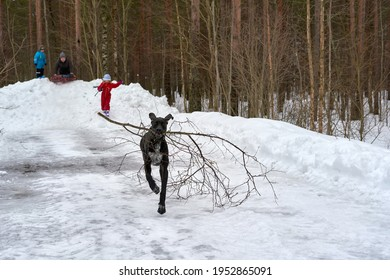 Dog carries a tree branch in its teeth along a winter forest road