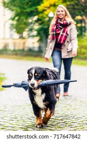 Dog carrying umbrella of his mom in autumn walk as it stopped to rain