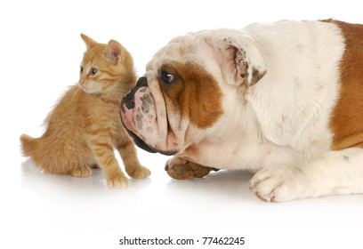 dog and cat - english bulldog and kitting looking in the same direction