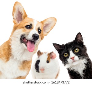 dog and cat and guinea pig set looks at a white background
