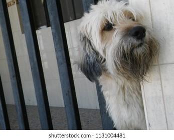 Dog, catalan shepherd breed/ Perro, raza pastor catalán.