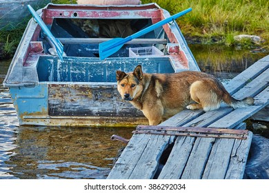 The dog catches small fish on a mooring. Jack London lake. Autumn. Kolyma