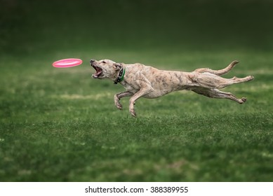 dog catching frisbee in jump on green grass