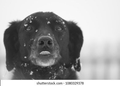 Dog Catching Snowflakes on Tongue