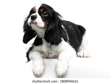 dog Cavalier King Charles Spaniel on a white background