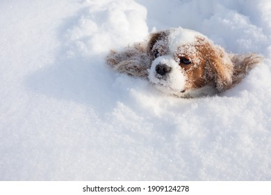 Dog Cavalier King Charles Spaniel covered with snow moving in winter on snow-covered field. Muzzle with snowflakes of animal stuck in snowdrift. Close-up photo, copy space