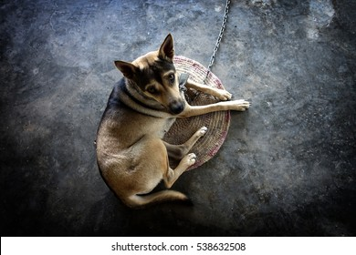 Dog chained.