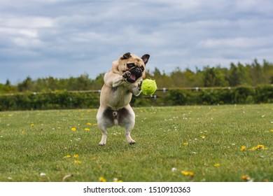 dog chasing  a ball at the park