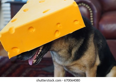 Dog in Cheese Hat