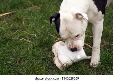 Dog chews on Shoe