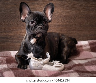 a277dea9 Dog chews shoes. French bulldog puppy chewing on children's shoes