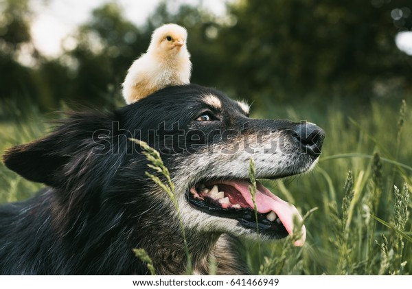 dog and chicken. Chicken on the head of the dog.