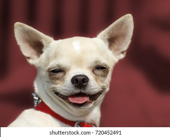 Dog Chihuahua head portrait - Short-haired - Red background
