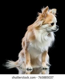 Dog chihuahua on a black background
