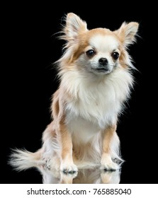 Dog chihuahua on a black background