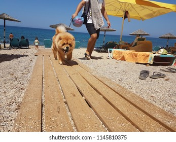 dog chow chow on the beach sea in summer vacations